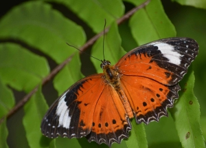 orange-lacewing
